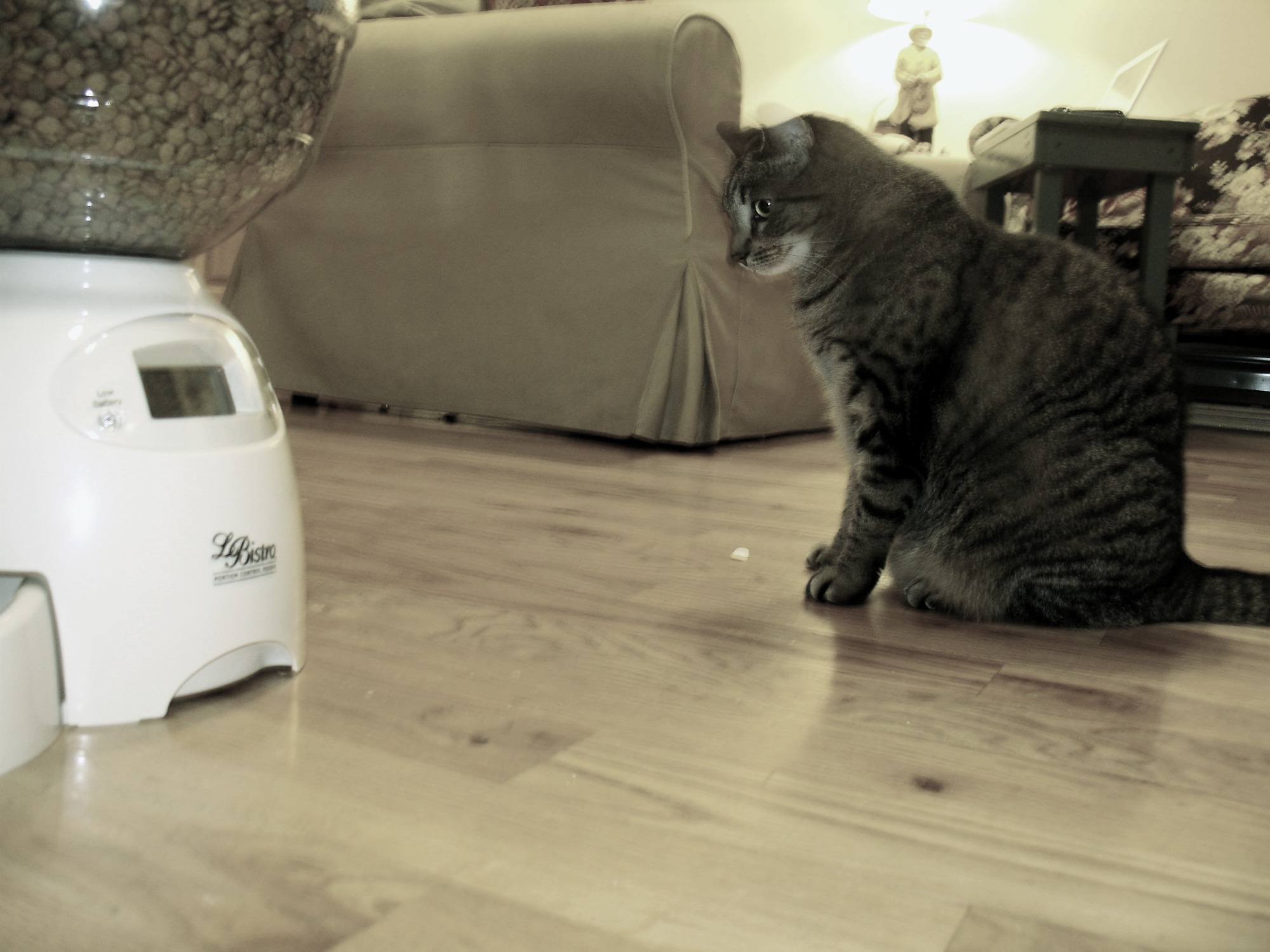 Sophie staring at cat feeder using her Jedi mind powers
